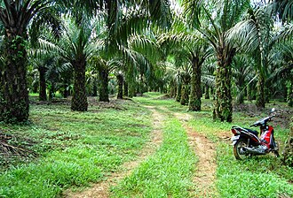Social and environmental impact of palm oil - A palm oil plantation in Indonesia