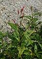Persicaria maculosa kz02.jpg