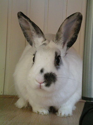A 2-3 years old pet rabbit. Nederlands: Een 2-...