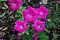 """Petunia """"Wave Rose"""" 3 (49063761532).jpg"""