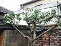 Pfirsichbaum, von meinem Schrebergarten-Vorbesitzer Hermann Schrage selbst 1998 aus einem Kern gezogen. - panoramio.jpg