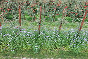 Phacelia-Bienenweide zwischen Apfelbäumen 02.jpg