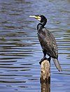 Phalacrocorax carbo SH 0541.jpg