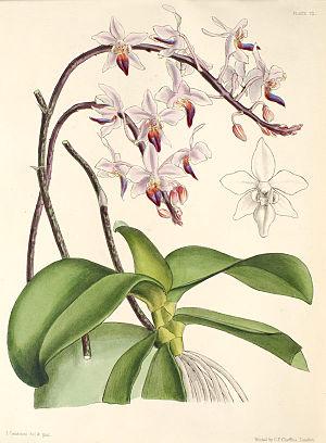 Phalaenopsis equestris1112.jpg