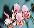 Phalaenopsis hybr. 01.jpg