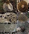 Phallus haitangensis.jpg