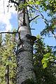 Phellinus populicola (6080305095).jpg