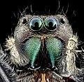 Phidippus clarus, U, Face Redo, PG County 2013-07-30-16.53.20 ZS PMax (9402149181).jpg