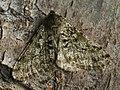 Phigalia pilosaria ♂ - Pale brindled beauty (male) - Пяденица-шелкопряд волосистая (самец) (39125720730).jpg