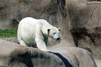 Polar Bear at the Philadelphia Zoo.