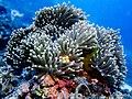 Philippino Clownfish (261197231).jpeg