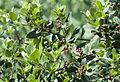 Phillyrea latifolia - Green olive tree - Akçakesme 02.jpg