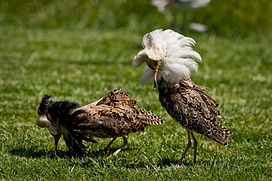 Two male Ruff in breeding plumage each with prominent neck feathers, white underparts, and flanks blotched with black. One has a white neck collar of feathers and the other has a colour that is almost entirely very dark brown.