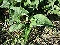 Phlomis tuberosa sl68.jpg
