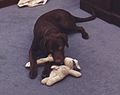 Photograph of Buddy the Dog Playing with Toys in front of Betty Currie's Desk in the Outer Oval Office- 02-06-1998 (6461528773) (cropped).jpg