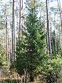 Picea abies001.JPG