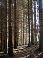 Picea sitchensis, Sitka Spruce plantation.jpg