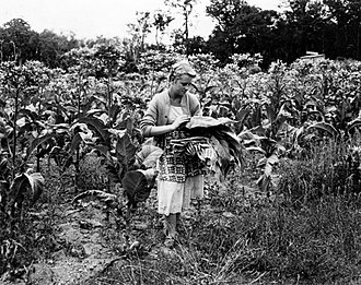Manjimup, Western Australia - Picking tobacco leaves in 1954