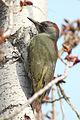 Picus viridis sharpei 085.jpg