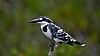 Pied Kingfisher Sunderban.jpg