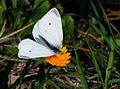 Pieris rapae - Small White butterfly 2.jpg