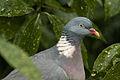 Pigeon (4229756426) (2).jpg