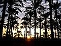 PikiWiki Israel 28804 עצי דקל בבית שאן.jpg