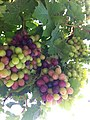 PikiWiki Israel 29229 unmature red Grapes..JPG