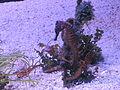 PikiWiki Israel 29377 Seahorse in Eilat.JPG