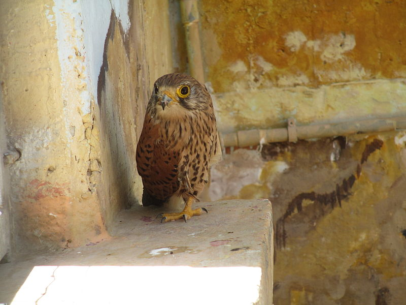 File:PikiWiki Israel 34850 Common Kestrel in Mitzpe Ramon.JPG