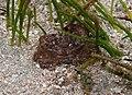 Pilodius areolatus - 2.jpg