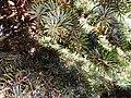 Pine Tree Cones.jpg