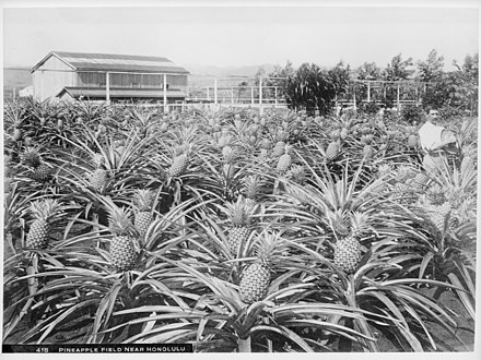 Post-annexation, Hawaii's economy and demographic changes were shaped mostly by the agricultural sector's growth. Pineapple field near Honolulu, Hawaii, 1907 (CHS-418).jpg