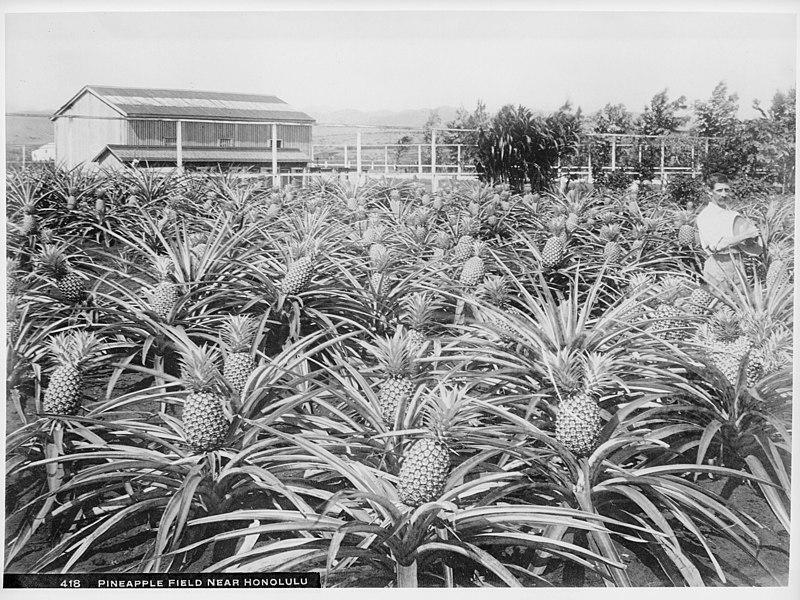 Pineapple field near Honolulu, Hawaii, 1907 (CHS-418).jpg