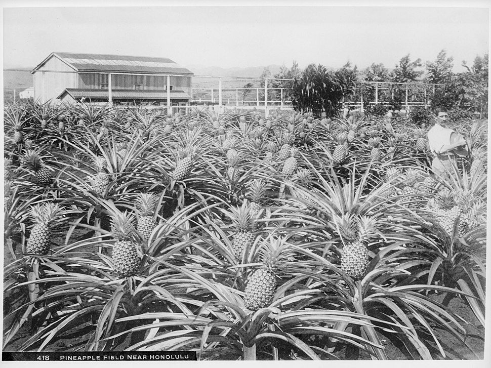 Pineapple field near Honolulu, Hawaii, 1907 (CHS-418)