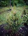 Pinus-mugo-'Pal-Maleter'.jpg