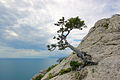 Pinus brutia var stankewiczii Crimea.jpg