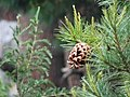 Pinus gerardiana India15.jpg
