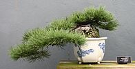 Pinus mugo bonsai at the BBG, August 2, 2008.jpg