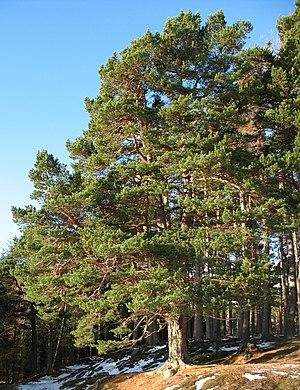 Scots pine - Native Scots pine at Glenmuick, Scotland