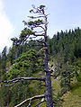 Pinus sylvestris Herzogstand-Heimgarten 006.jpg