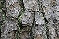 Pinus taeda CG 5 NBG LR.jpg