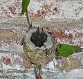 Pirané Pirane Formosa Picaflor Garganta Blanca Leucochloris albicollis White-throated Hummingbird 2.jpg