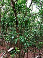 Pisonia brunoniana (5516712742).jpg