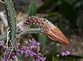 Pitayita de culebra (Selenicereus coniflorus), jardín botánico de Tallinn, Estonia, 2012-08-13, DD 01.jpg