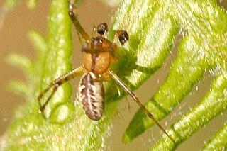 <i>Pityohyphantes</i> Genus of spiders