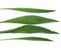 Plantago lanceolata6 ies.jpg