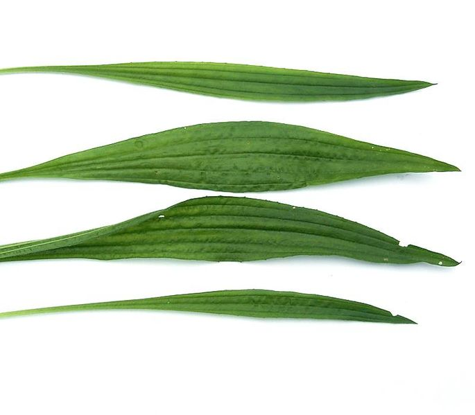 Fichier:Plantago lanceolata6 ies.jpg