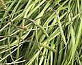 Plantago maritima leaf (06).jpg