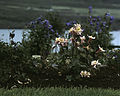 Plants in Akureyri 01.jpg